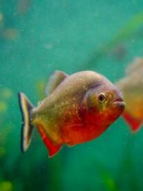 3 RED BELLY PIRANHA FISH