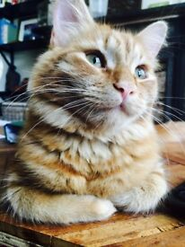 MISSING CAT - REWARD OFFERED