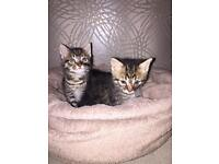 One Tabby kitten left (out of 3) ready to go to s loving g home