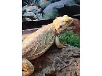 Fire and ice bearded dragon