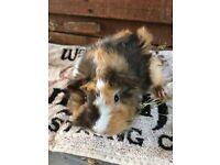Pretty baby guinea-pigs