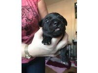 Staffordshire pups for sale