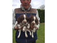 Springer Spaniel Puppies - 07864 540656