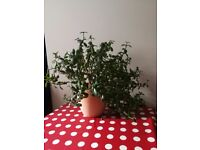 Jade Plant/Money Tree