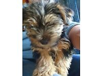 Male Mini Yorkshire Terrier Puppy for Sale