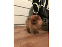 Stunning Pomeranian Girls Available