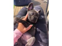 Male Blue Frenchie pups available