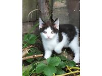 Maine coon black white torti tabby tortoiseshell white ginger kittens cats ready can deliver
