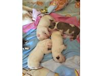 Gorgeous Chunky English Bull Terrier Pups