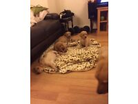Fox Red and Gold Labrador Puppies