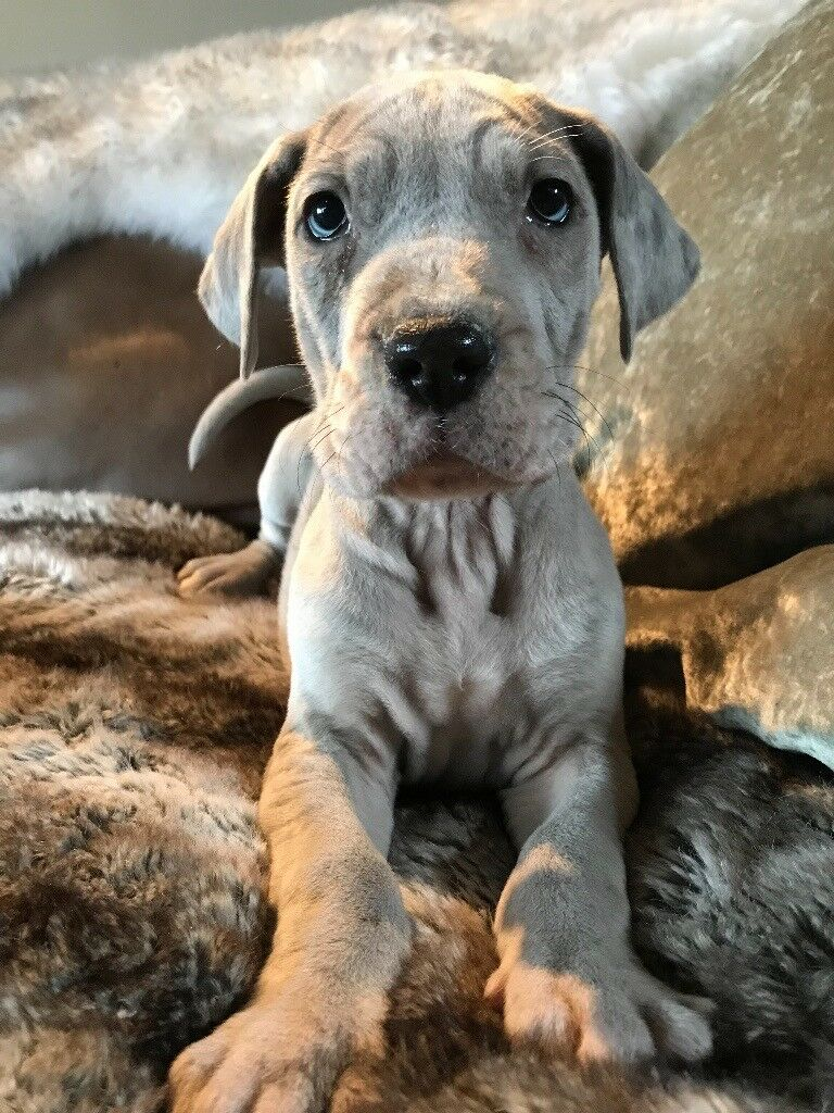 blue merle great dane puppies ready now in market rasen