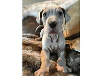 Blue Merle Great Dane Puppies READY NOW