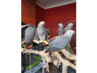 Hand reared baby Congo African grey parrots ready now.