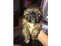 Shih tzu puppies ready to leave