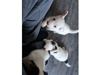 Pure jack Russell's pups