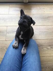 French BullDog Puppies. Last One £900