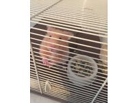 4 month old hamster