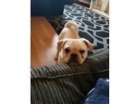 Boy pug pup