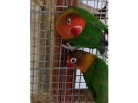 Fischer love birds