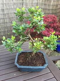 Bonsai Tree Azalea
