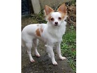 Stunning chihuahua girl forsale £275