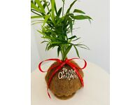 Indoor Plant Parlour Palm / Sansevieria /Kokedama