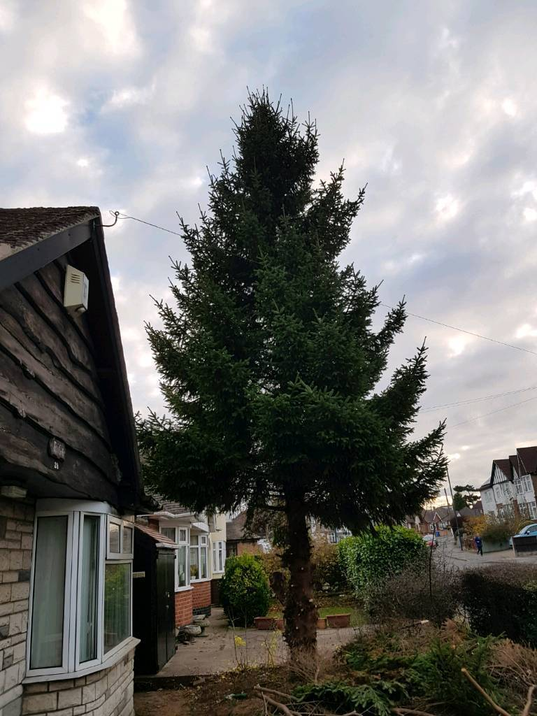 15 Ft Christmas Tree.Free Christmas Tree Approx 15ft In Derby Derbyshire Gumtree