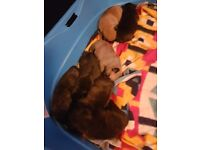 For sale frug puppies