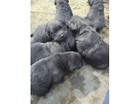 KC REGISTERED BLACK LABRADOR PUPPIES