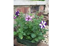 Petunia popular bedding plants(Pack of 9 £3 per pack)