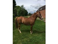 Charlie- 12.2, Section B Gelding - age 9