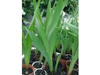 Gladioli plants