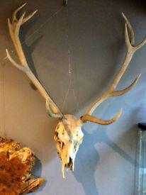 Stag antlers on skull.