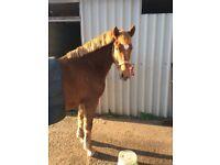 HORSE FOR SALE , SASHA CHESNUT MARE