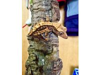 Young Crested Gecko for sale