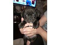 French bulldogs puppies black brindle boys