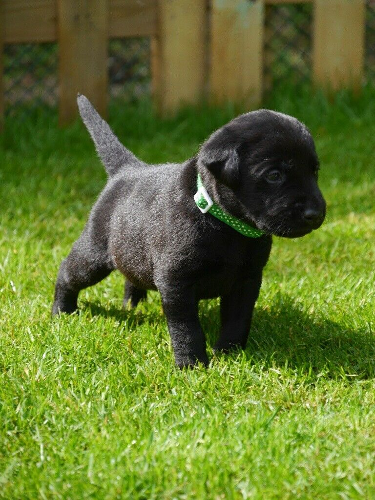 Black Labrador Puppies For Sale In Great Yarmouth Norfolk Gumtree