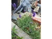 Lavender & Rosemary - plant herb