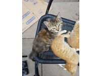 Gorgeous and lovely natured kittens for sale. Have been brought up with adult cats and puppies!