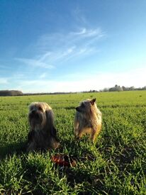 2 Yorkshire terriers