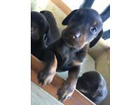 Doberdor puppies