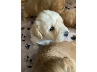 Beautiful miniature apricot male schnoodle puppy for sale
