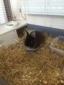 Dwarf rabbit with cage