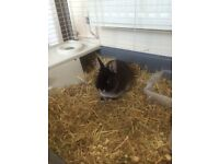 Dwarf rabbit with cage