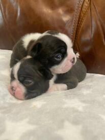 KC registered Boston Terrier puppies