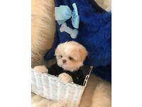 ***Stunning Shih tzu puppy***
