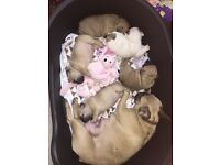 stunning litter of 3 french bulldog girls for sale