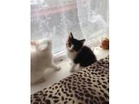 2 kittens £30 Each