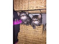 Beautiful half Maine Coon half Norwegian Forest kittens for sale!