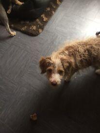 Collie / poodle